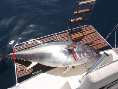 La pesca sportiva del tonno tonni al raffio e poi - Marinare il tonno prima di cucinarlo ...